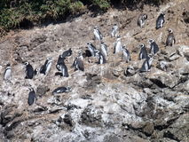 Pinguins in reservation punihuil on chiloe island in chile Stock Photos