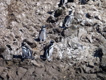 Pinguins in reserve punihuil op chiloeeiland in Chili Stock Afbeeldingen
