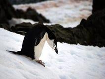 Pinguins selvagens de Chinstrap na Antártica Imagem de Stock