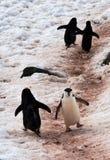 Pinguins selvagens de Chinstrap na Antártica Fotografia de Stock