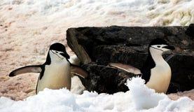 Pinguins selvagens de Chinstrap na Antártica Imagens de Stock