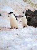 Pinguins selvagens de Chinstrap na Antártica Foto de Stock