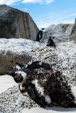 Pinguins selvagens na cidade do cabo imagens de stock