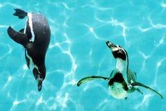 Pinguins sob a água fotos de stock royalty free