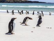 Pinguins sob a discussão em Falkland Islands Fotos de Stock