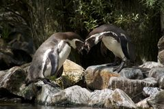 Pinguins Stock Photo