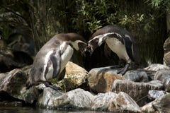 Pinguins Stock Photo