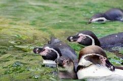 Pinguins in Water Stock Afbeelding