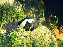 Pinguinschlafen Stockfotos