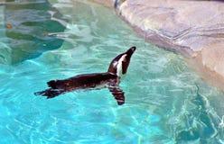 Pinguinschwimmen in einem Pool Lizenzfreies Stockfoto