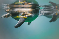 Pinguinschwimmen im Wasser Lizenzfreie Stockbilder
