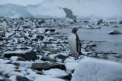 Pinguinstände der Antarktis Gentoo auf schneebedecktem felsigem Strand nach der Jagd stockbilder