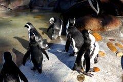 pingvin Arkivbilder