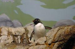 Pingvin Royaltyfria Foton
