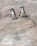 pingvin arkivbild