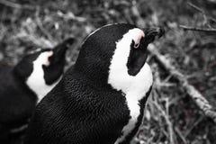 Pingvin Royaltyfria Bilder