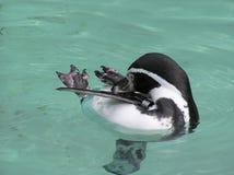 pingvin Arkivfoton