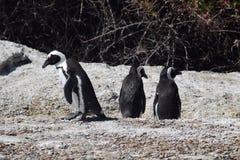 pingvin Royaltyfri Bild