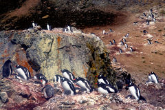 Pingvin Antarktis Arkivfoto