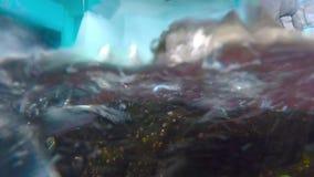 Pingvin Ashore och simma stock video