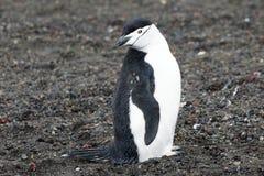Pingvin - chinstrap - PygoscelisAntarktis Arkivfoto