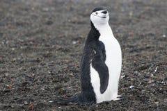 Pingvin - chinstrap - PygoscelisAntarktis Fotografering för Bildbyråer