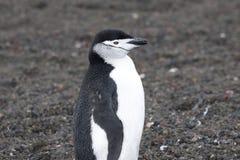 Pingvin - chinstrap - PygoscelisAntarktis Royaltyfria Foton