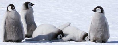 pingvin för aptenodyteskejsareforsteri Arkivbilder