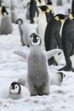 pingvin för aptenodyteskejsareforsteri Royaltyfria Foton