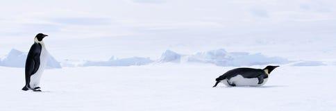 pingvin för aptenodyteskejsareforsteri fotografering för bildbyråer