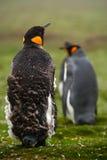 Pingvin för konung två, Aptenodytespatagonicus Pingvinet med detaljlokalvård av fjäderpingvinet med svart och guling head, Falkla Royaltyfria Bilder
