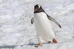 Pingvin - Gentoo pingvin Arkivfoto