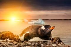 Pingvin i Antarktis Arkivbild