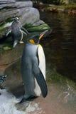 Pingvin i det arktiska akvariet Royaltyfri Bild