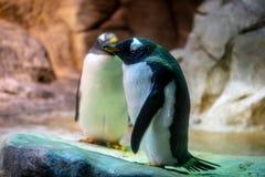 Pingvin i en zoo arkivbilder