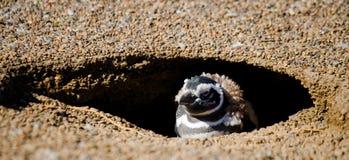 Pingvin i ett hål rolig bild arenaceous Halvö Valdes Royaltyfri Bild
