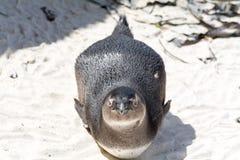 Pingvin i sand Royaltyfri Foto