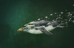 Pingvin i vatten Royaltyfria Bilder