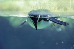 Pingvin i vatten Arkivbild