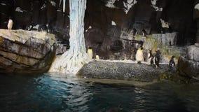 Pingvin kommer ut ur vattnet som hoppar på Seaworld arkivfilmer