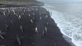 Pingvin kommer ut ur vattnet till kusten Andreev lager videofilmer