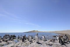 Pingvin Magellan royaltyfri foto