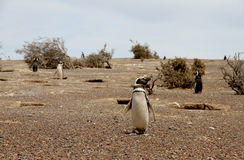 Pingvin Magellanic i den lösa naturen. Patagonia. Royaltyfria Bilder