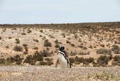 Pingvin Magellanic i den lösa naturen. Patagonia Argentina. Arkivfoto