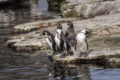 Pingvin med inställning Arkivfoton