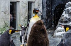 Pingvin på den Asahiyama zoo Arkivfoto