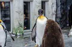 Pingvin på den Asahiyama zoo Fotografering för Bildbyråer