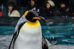 Pingvin på den Asahiyama zoo Royaltyfria Bilder