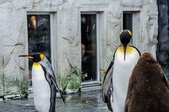 Pingvin på den Asahiyama zoo Royaltyfri Fotografi