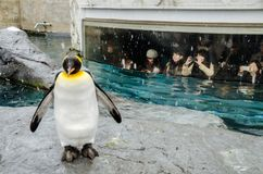 Pingvin på den Asahiyama zoo Arkivfoton